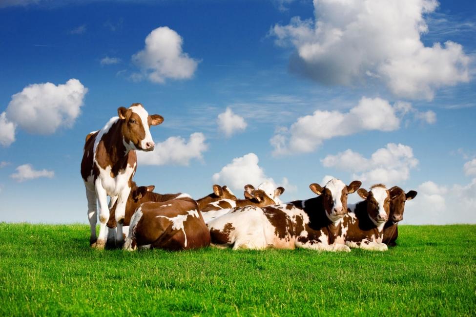 მთავრობა საქონლის ჯიშთა განახლებაში ფერმერებს ამ ეტაპზე ვერ ეხმარება