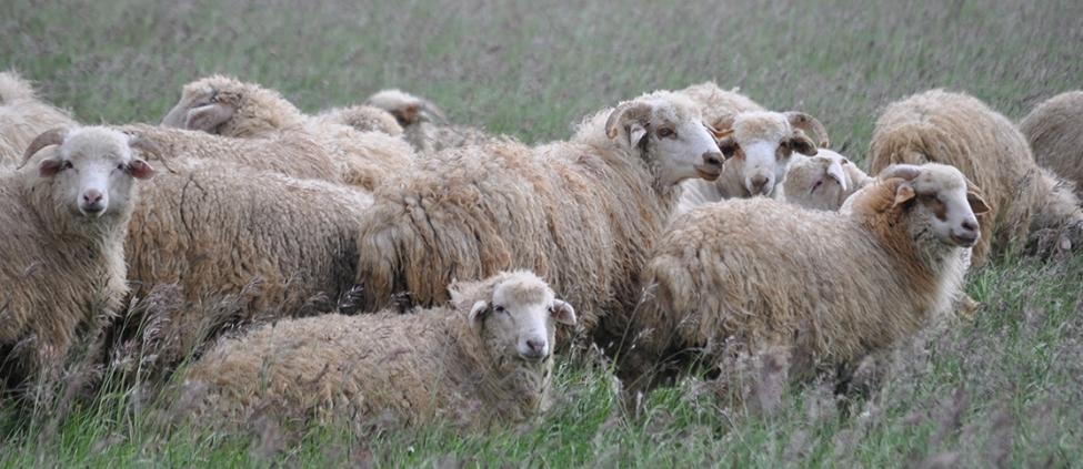აზერბაიჯანში ქართული ცხვრის და მსხვილფეხა საქონლის ექსპორტი შემცირდა