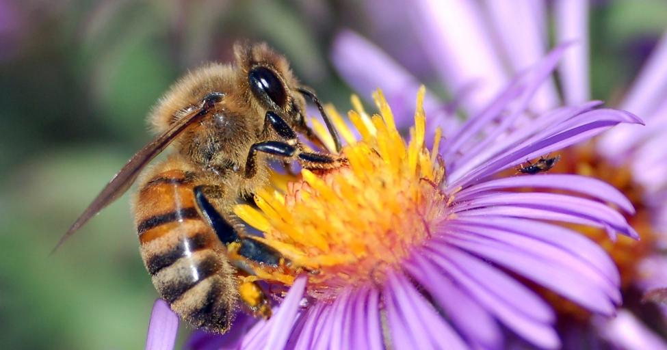 ევროპაში ექსპორტის შანსი უნიკალურ ქართულ ფუტკარსაც აქვს
