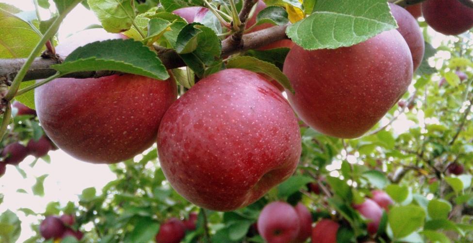 ვაშლის ექსპორტისას გადამწყვეტი მისი რაოდენობა იქნება
