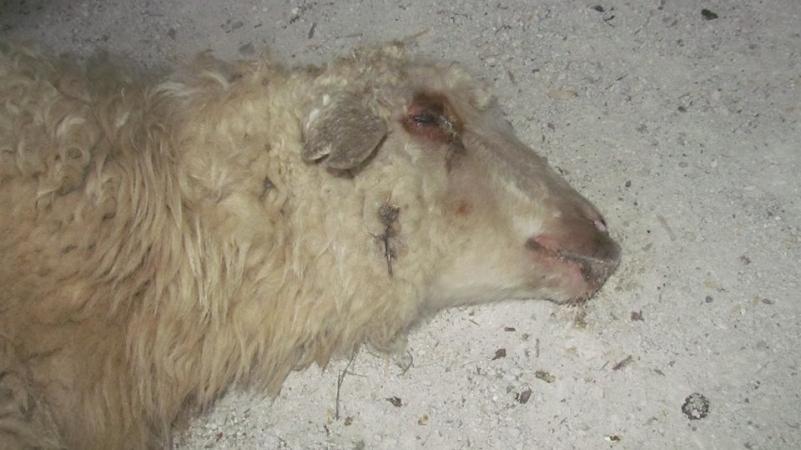 საქართველოში ცხვრის ყვავილმა იფეთქა - დაავადება შესაძლოა, მთელ ქვეყანას მოედოს