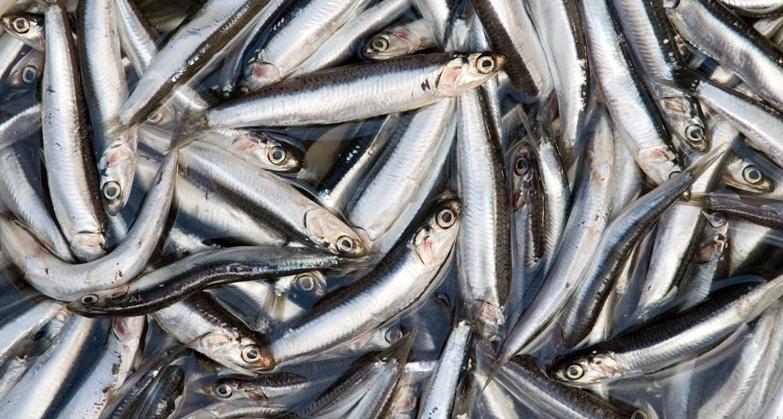 მეთევზეებმა წელს ქაფშიის მარაგების მხოლოდ 60% აითვისეს