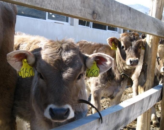 Швейцарцы в Раче создают класс фермеров