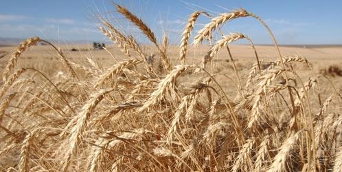 Повышеные акцизов на топливо, падение мировых цен и отсутствие технологии - тройной  пресс на грузинских  производителей пшеницы