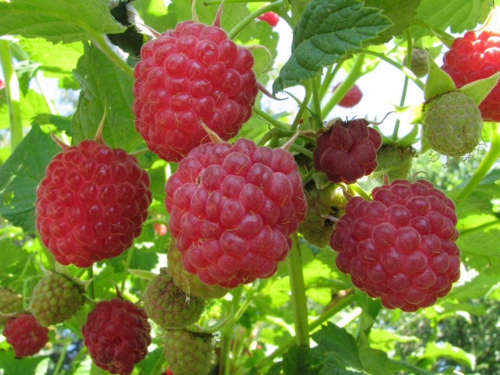 КАк разводить малину – дефицитную ягоду в Грузии и Европе