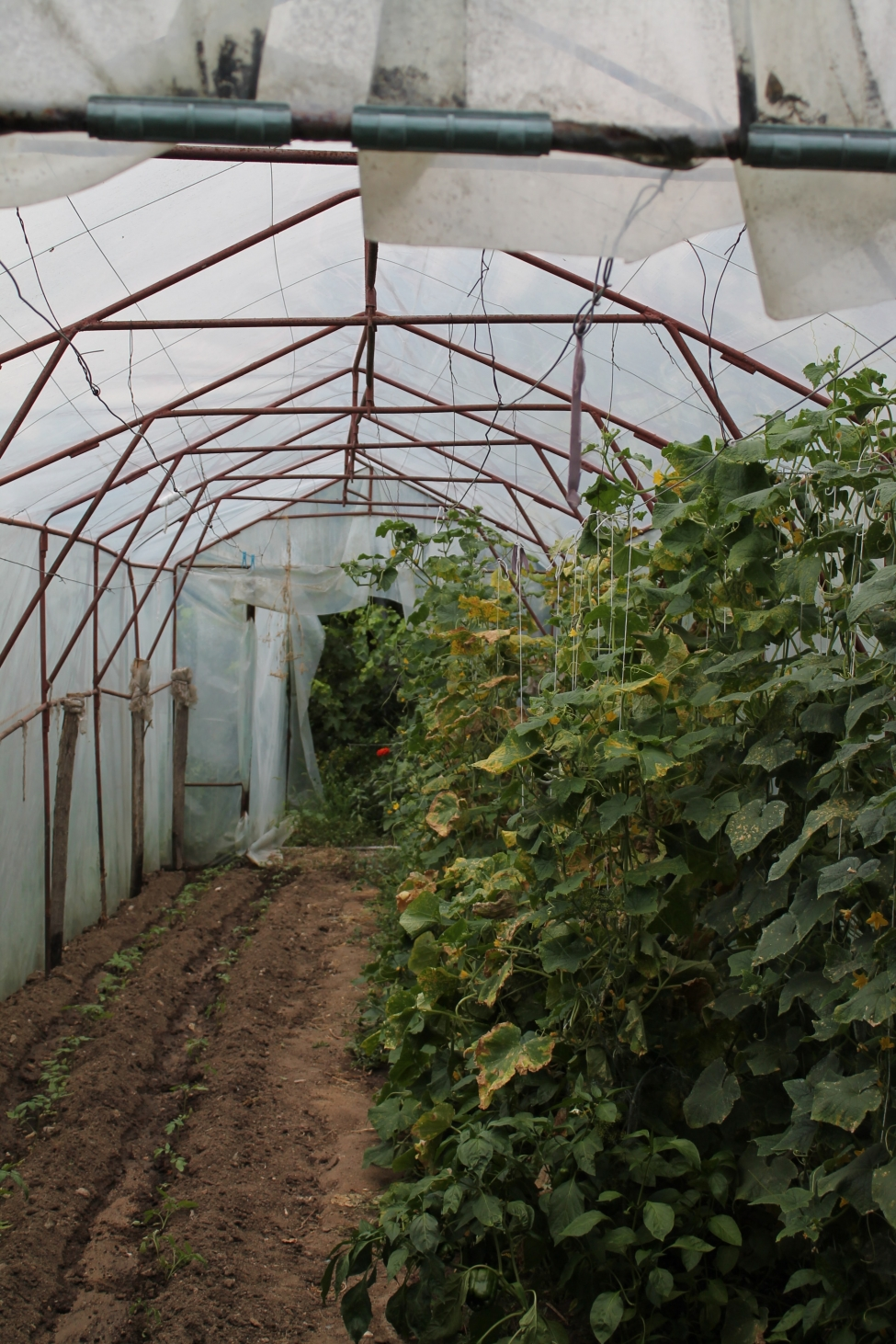 რა სახის სერვისს შესთავაზებს წყალტუბოს სასათბურე მეურნეობების კლასტერი ადგილობრივ ფერმერებს