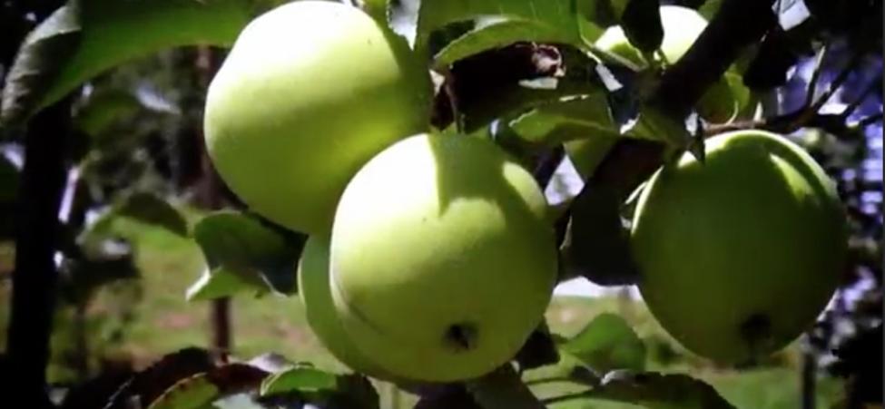 აგრორჩევები ვაშლზე