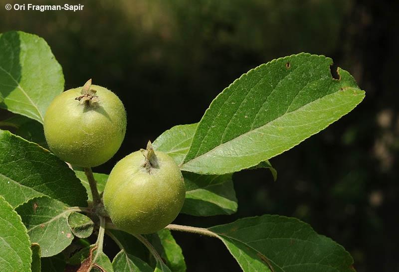 გერმანული კომპანია ქართული ტყის ვაშლით (მაჟალო) დაინტერესდა